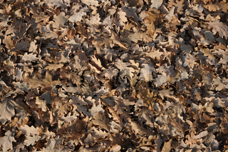 Quercus robur, Stieleiche, German oak, Falllaub, autumn leaves