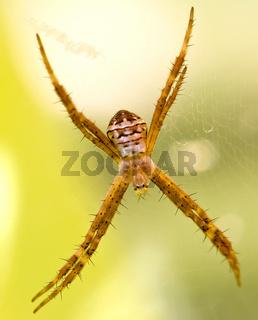 Lynx spider with spikey legs