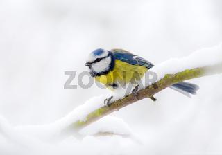 Blue tit bird sitting on a snow covered tree