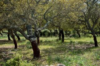 Korkeichen in Sardinien