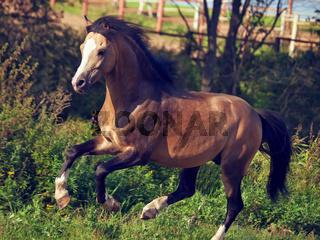 buckskin welsh pony in motion.