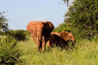 Kenya Red Elephant