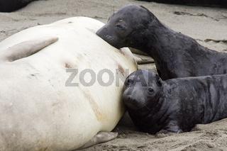 Northern Elephant Seal, Baby suckle, Noerdlicher See-Elefant, Baby beim saeugen, Mirounga angustirostris, San Semion, Kalifornien, California, USA