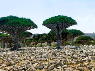 Dragon tree forest, endemic plant of Socotra island Yemen