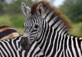 Junges Steppenzebra, Südafrika, South Africa, Plains Zebra, Perissodactyla, Equus quagga