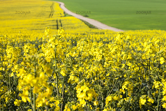 Canola field and dirty road