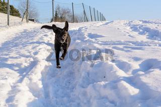 schwarzer Hund läuft schnell im Schnee