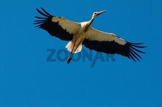 Störche - majetätische Zugvögel