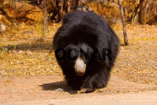 Sloth Bear, Melursus ursinus, Daroji Bear Sanctuary, Karnataka