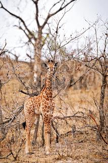 Junge Giraffe getarnt zwischen trockenen Bäumen, Kruger NP, Südafrika - young giraffe with dry trees, Kruger NP, South Africa