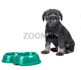 Small hungry mittelschnauzer puppy near empty  dog bow