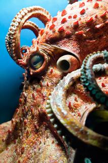 Head of an Octopus