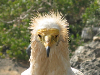 Head of egyptian vulture, close-up, Soqotra Yemen