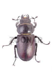 Hirschkäfer (Lucanus cervus) - stag beetle (Lucanus cervus)