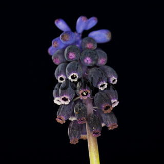 Kleine Traubenhyazinthe (Muscari botryoides] / grape hyacinth (Muscari botryoides]