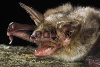 Grosses Mausohr Fledermaus, Myotis myotis, Deutschland