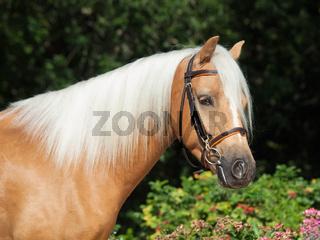 portrait of beautiful palomino welsh pony