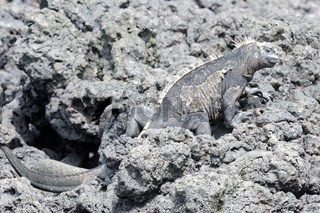 in den Felsen Meerechse Las Tintoreras Galapagos Inseln Ecuador