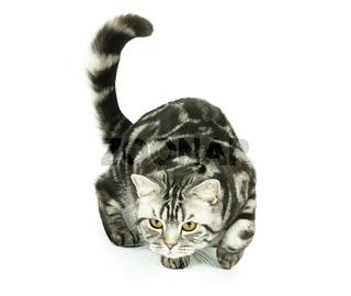British cat hunting