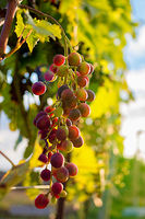 Reife rote Weintrauben an einer Weinrebe