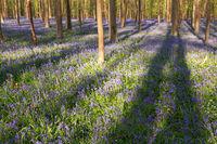 sunny flowering beech forest