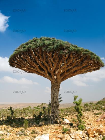 Dragon tree, endemic plant of Socotra island Yemen