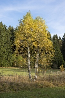 Moor-Birken (Betula pubescens)