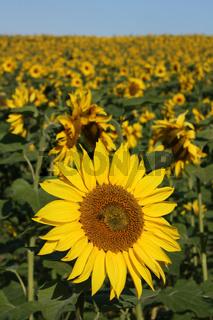 Sonnenblume, im Hintergrund Sonnenblumenfeld