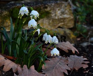 Frühlingsknotenblume; Maerzenbecher; Leucojum vernum; spring snowflake;
