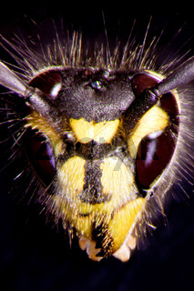 Mikrofoto einer Wespe