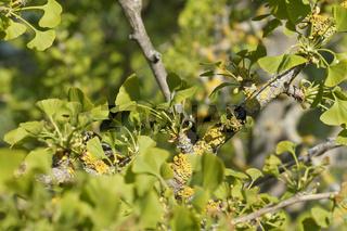 Ginkgo biloba, Ginkgobaum, Maidenhair Tree, weibliche Blüten, female flowers
