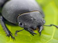 Schwarzer Blattkäfer