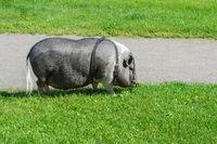 The urban hog.