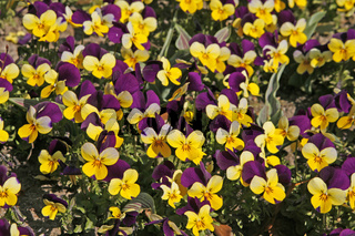 Viola cornuta 'Four Seasons Purple Wings', Horn-Veilchen