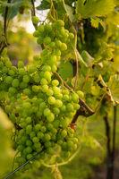 Helle Weintrauben hängen an einer Weinrebe