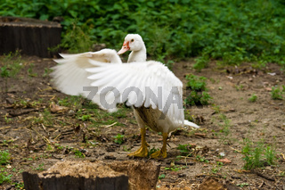 Barbarie-Ente, muscovy duck, Cairina moschata