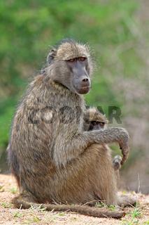 Pavian, Südafrika, wildlife