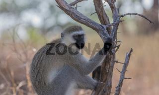 Grünmeerkatze, VeretMonkey, im Tarangire  Nationalpark