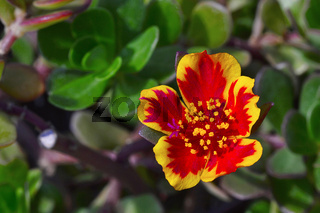 Close-up of Portulaca umbraticola near Pune, Maharashtra