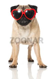 Mops mit Brille