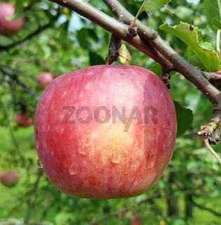 Remo, Apfel, Malus, domestica, Alte Apfelsorte