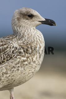 Heringsmöwe, Nordseeküste, Larus fuscus