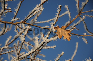 Quercus robur, Stieleiche, German Oak, Reif, White Frost, Eis, Ice