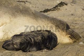 Northern Elephant Seal, Babies sleeping, Noerdlicher See-Elefant, Babies, schlafend