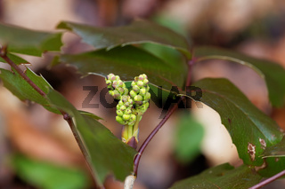 Young blossoms of an Oregon grape bush (Mahonia aquifolium)