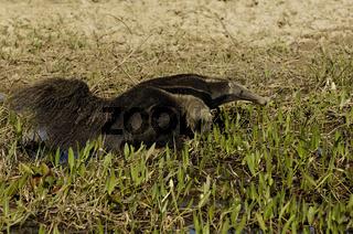 Grosser Ameisenbaer, Myrmecophaga tridactyla