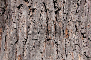 Borke Schwarze Walnuss (Juglans nigra)