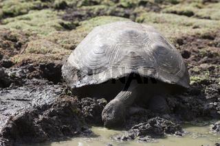 Galapagos-Riesenschildkroete, Galapagos, Ecuador