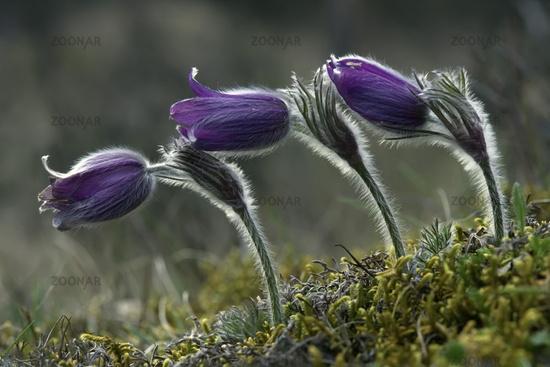 Echte Kuechenschelle (Pulsatilla vulgaris)