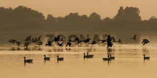 Duemmer, Duemmer See, Niedersachsen, Deutschland, Graugaense, anser anser,  auf dem Duemmer See bei Sonnenuntergang, graylag goose, grey goose, duemmer lake, sunset, germany